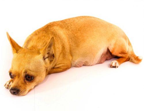 Apakah penyakit Cushing pada anjing?
