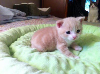 Keturunan kucing: Manx
