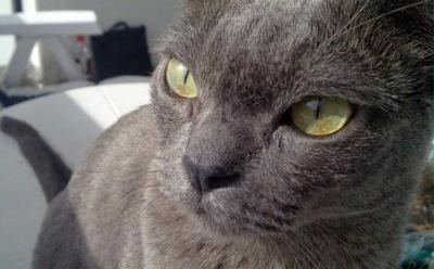 Keturunan kucing: Burma