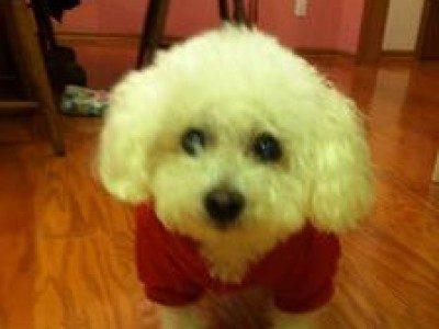 Keturunan anjing: Bichon Frisé