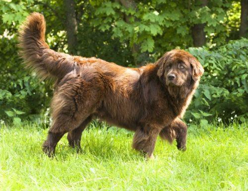 Apa yang perlu saya lakukan sekiranya anjing saya makan rumput?
