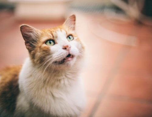 Cur meow feles hominibus communicare?