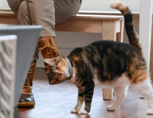 Kucing bar dilahirkan di Amerika Syarikat