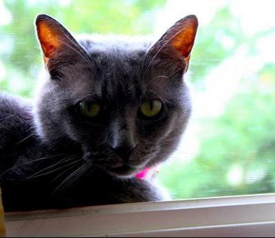 Keturunan kucing: Korat