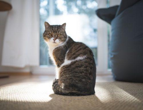 Panduan pasti untuk menghilangkan bau kencing kucing