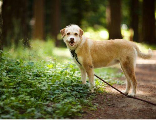 Penyakit Lyme pada anjing: gejala dan rawatan