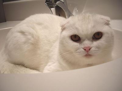 Ciri-ciri, keperibadian, penjagaan kucing Coupari