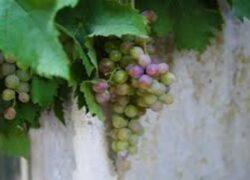 Kebun anggur Paus Ratzinger di tangan Paus Francis